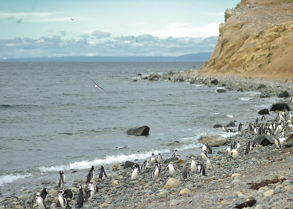 пингвины кормятся