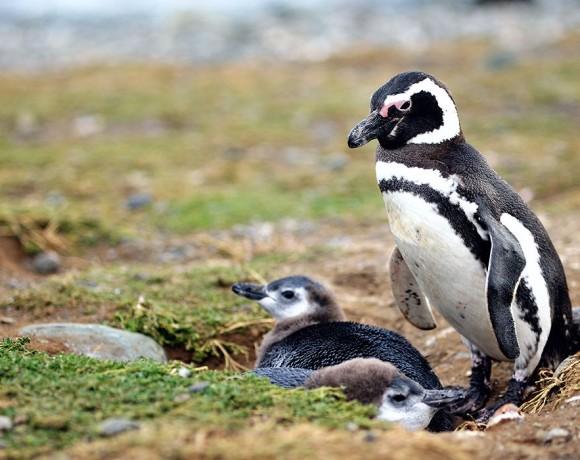 пингвины с острова Магдалены