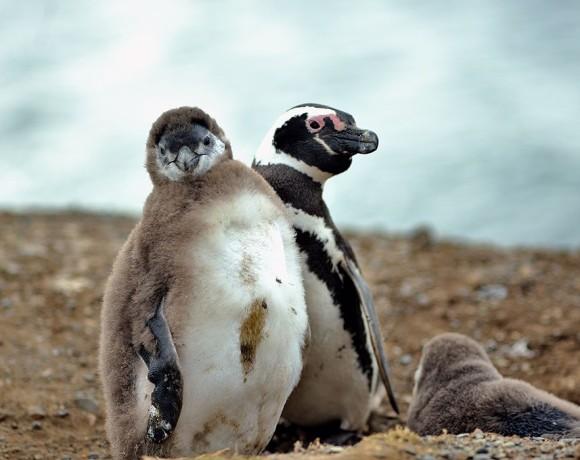 пингвины Магдалены