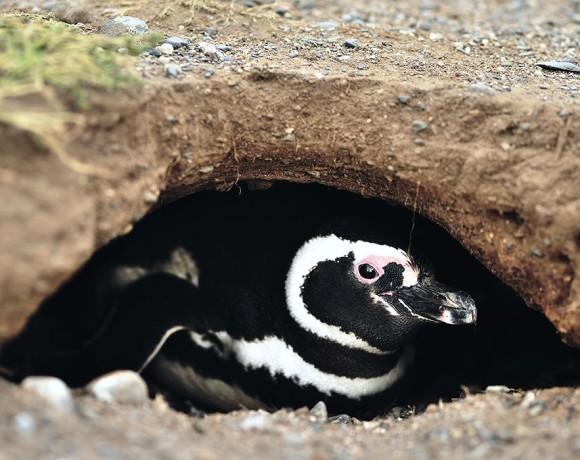 пингвин высиживает яйца